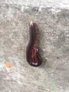 Thailand Centipede